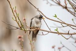 Australian, yellow beaked, noisy miner bird perched on a blossom tree in spring