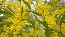 Australian Zig Zag Wattle Acacia macradenia with yellow globular clusters of  small  fluffy bright golden flowers
