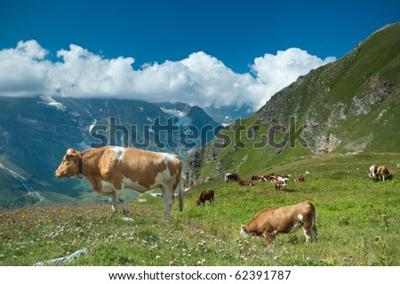 Austrian cow grazing in an alpine meadow, mountains in the background