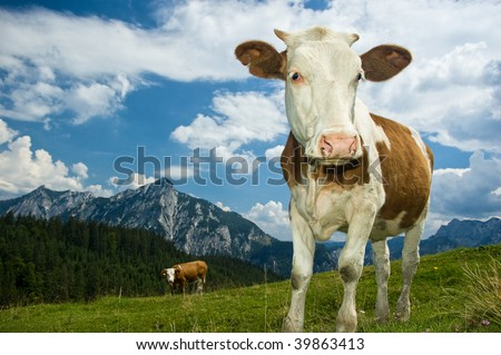 Austrian Cow in the Alps - stock photo