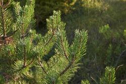Austrian pine tree in bloom