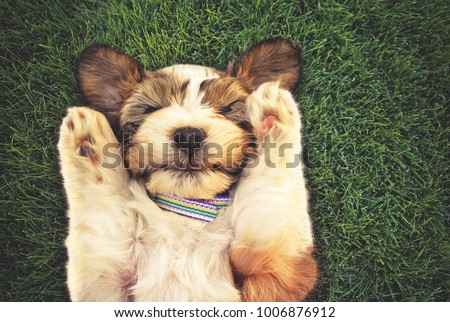 authentic and unique photo of a mixed breed puppy with her paws by her head covering her ears