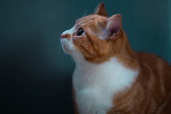 Authentic image of a ginger cat looking at the camera with a beautiful warm and cosy background.