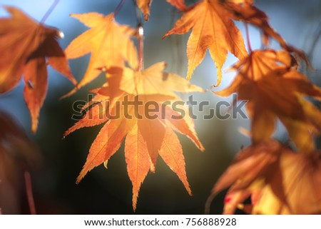 Autum sun through overlaid orange leaves with sun streaming through and a contracting background