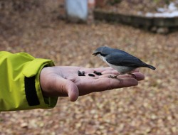 Autumn. A man feeds a forest bird from the palm of his hand. The common nuthatch or coachman (Latin: Sitta europaea) is a small bird in the nuthatch family.