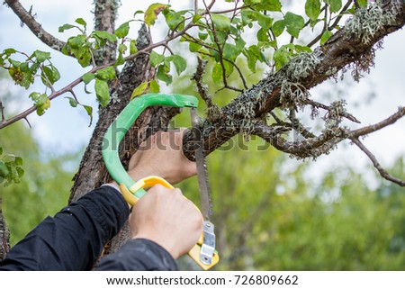 Autumn agricultural works, orchard maintenance, branching on fruit trees, agricultural scissors and small saw blades, cutting branches #726809662
