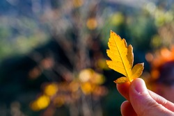Autumn and fall yellow and red leave close-up, nature background, yellow color leave and hand holding leaf