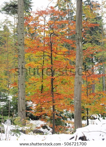 Autumn and winter in the same picture. Colorful tree in forest. - Shutterstock ID 506721700