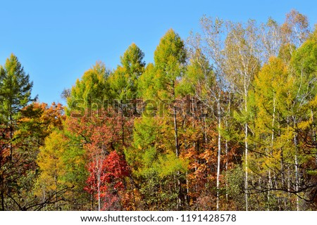Autumn apparel of the forest. Mixed forest: larch, birch, oak, maple and other trees in a beautiful autumn decoration.