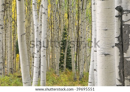 Autumn aspen forest Elk Mountains, Colorado, USA