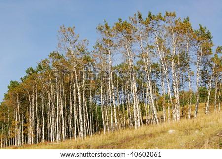 Autumn aspen forest towards the sky, kananaskis country, alberta, canada