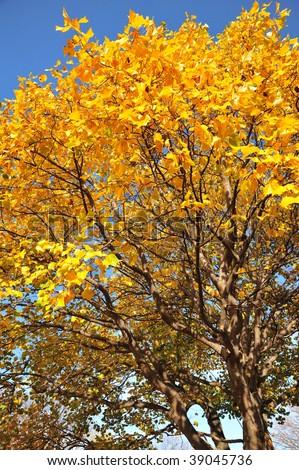 Autumn aspen in beacon hill park, victoria, british columbia, canada