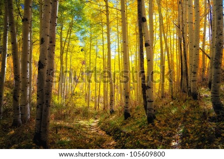 autumn aspens and the glow of the trail