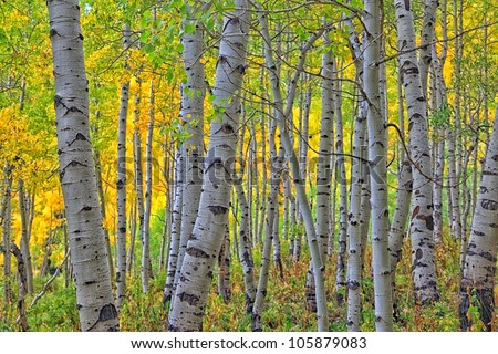 autumn aspens/ Looking Through the Aspens to the Colors/