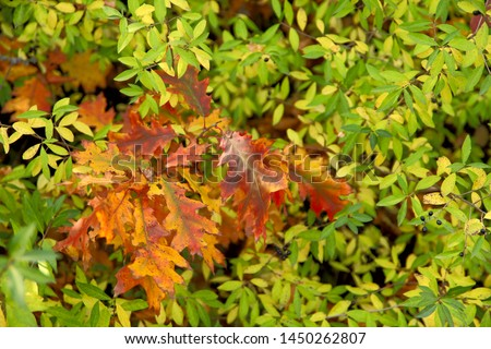 Autumn background. A branch with red leaves of an oak among green leaves. A cropped shot, horizontal, free space, without people. The concept of the seasons and natural beauty.