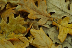 autumn background from yellow leaves. Yellow oak leaves. Autumn background