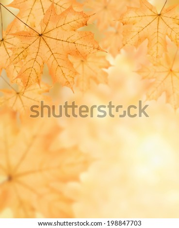 autumn background of many big yellow maple leaf, horizontal photo collage
