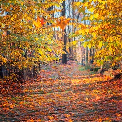 autumn background, park alley in the season of leaf fall, panorama of a path with autumn leaves, sunny day, a walk in the woods in October