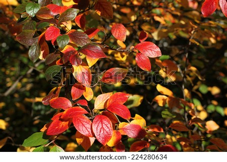 Autumn background - red leaves of shiny cotoneaster     #224280634