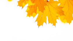 Autumn background. Tree branch with maple leaves on a blurred background. Autumn design background with yellow leaves. Copy space