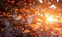 Autumn background. Warm sunbeams and red maple leaves. Natural texture.