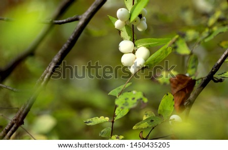 Autumn background. White berries Symphoricarpos on a background of green leaves. Cropped shot, horizontal, free space, without people, view from above, outdoors, close-up. Concept of the seasons