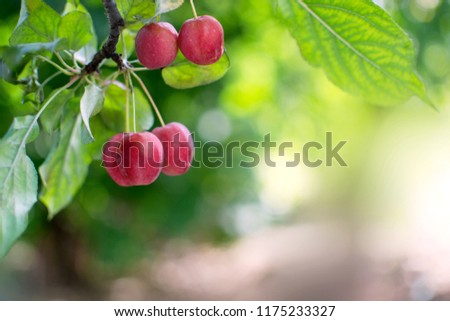Autumn background with decorative Paradise Apple tree branch with fruits and free space. Beautiful bokeh. #1175233327