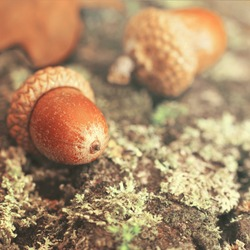 Autumn background with fallen in moss acorns closeup. Autumnal still-life with acorns. Background with large acorns.