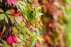 autumn background with Parthenocissus tricuspidata commonly called Boston ivy, selective focus