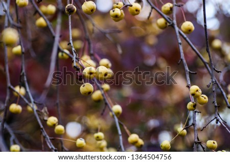 Autumn background with plenty small yellow wild apples on Crab apple tree. Dark moody fall picture.