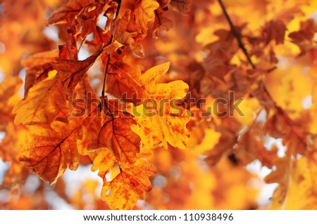 Autumn background with red oak leaf, selective focus