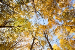 Autumn. Beautiful yellow birch leaves and branches of larch trees on a background of blue clear sky. Natural background.