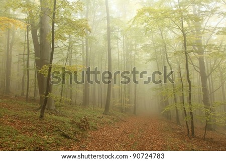 Autumn beech forest surrounded by mountain mist.