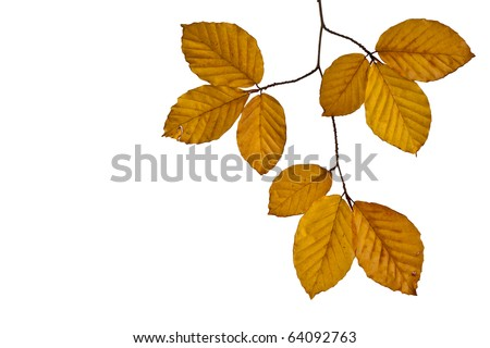 Autumn Beech Leaves isolated on white background
