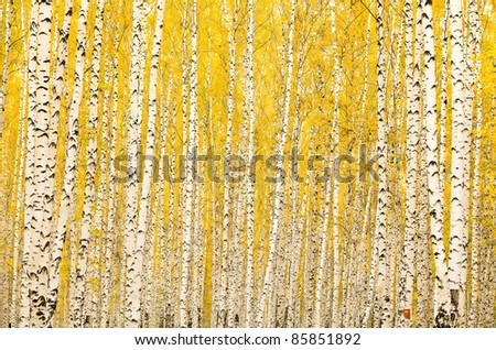 Autumn birch forest. October