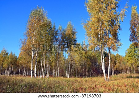 autumn birch wood on blue background