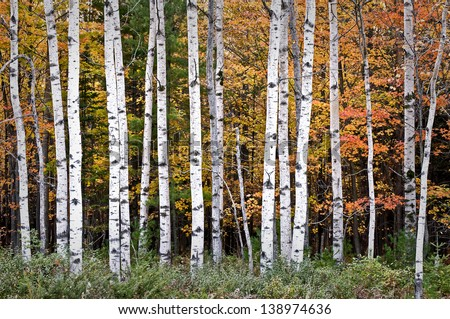 Autumn Birches Warm sunset light on autumn birch trees at Peninsula State Park in Door County, Wisconsin.