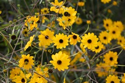 autumn black eyed susan being pollinated