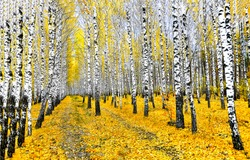 Autumn black white birch tree forrest landscape