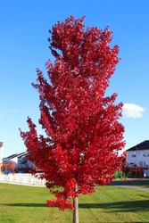Autumn Blaze Maple tree with red leaves.