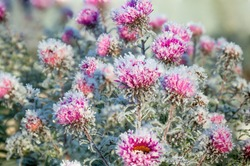 autumn blooming purple chrysanthemum flowers covered with snow. frozen flowers covered with frost