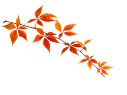Autumn  branch  with colorful  orange leaves isolated on white background. Five-Leaved Ivy