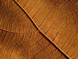 autumn brown leaf texture ( teak leaf )