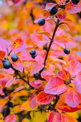 Autumn bush with blueberry leaves scene. Red autumn leaves and black berries close up. Autumn leaves in autumn forest park