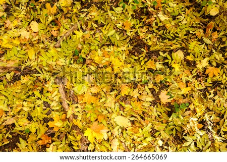 Autumn carpet of bright fallen ash and maple leaves, Forest on Vorskla protected area, Belgorod region in southern Russia