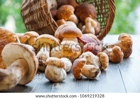 Autumn Cep Mushrooms. Basket with porcini mushrooms on the background of a tree outdoors. Close -up on wood rustic table. Cooking delicious organic mushroom.