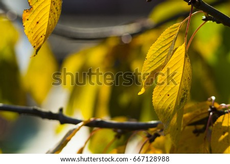 autumn changing color cherry leaves background #667128988