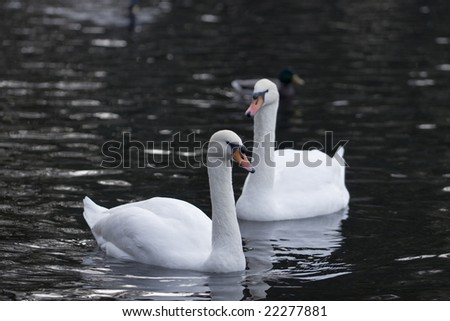Autumn. City park. Swans pair in cold water