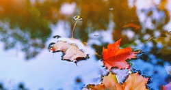 Autumn cold rainy day. Yellow orange maple leaf floating in lake. Vibrant color of fall season of nature. Calm forest park. Reflection of blue sky in clean water surface of pond. Tranquil zen concept.