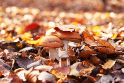 Autumn collage with two mushrooms among forest leaves